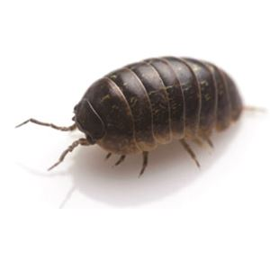 Pillbug-square